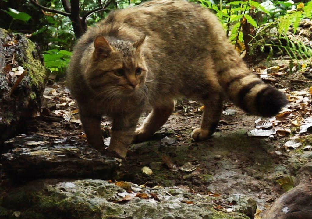 Il gatto selvatico sulle Madonie